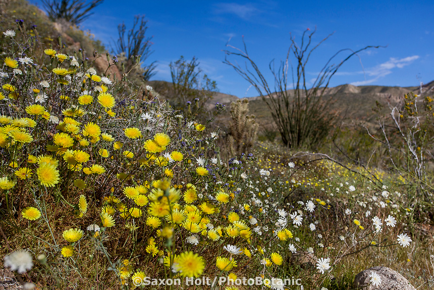 Malacothrix californica, California dandelion, yellow flowering wildflower in Sonoran Desert at Anza Borrego California State Park