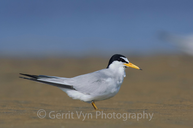 Adult Least Tern (Sterna antillarum) in breeding plumage. Texas. March.