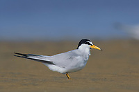 Adult Least Tern (Sterna antillarum) in breeding plumage. Texas. March.
