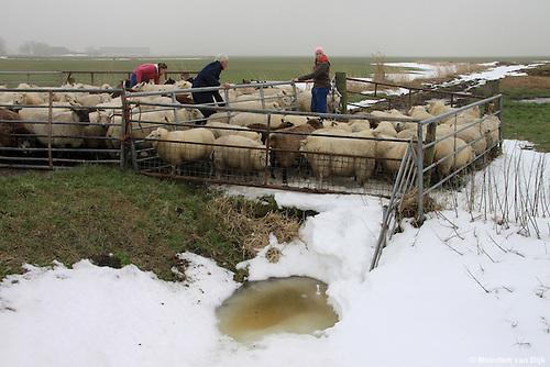 Raard, 20 januari 2010 - Schapenhouder Gerrit Kingma uit Hantumeruitburen scheidt zijn 115 schapen van de 50 schapen van zijn buurman. De schapen liepen op twee weilanden aan de Birdaarderstraatweg te Raard (bij Dokkum). Door het ijs op de sloten waren de schapen bij elkaar gekomen. Dochters Gonnie en Eelkje helpen hun vader een handje.<br /> <br /> Raard, January 20, 2010 - Sheep farmer Gerrit Kingma from Hantumeruitburen separates his 115 sheep from 50 sheep of his neighbor. The sheep were on two fields at the Birdaarderstraatweg in Raard (in Dokkum). Because the ice in the ditches the sheep were together. Daughters Connie and Eelkje help their dad a hand.