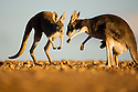 Australia,  NSW, Sturt National Park; red kangaroos hopping towards each other (Macropus rufus); the red kangaroo population increased dramatically after the recent rains in the previous 3 years following 8 years of drought