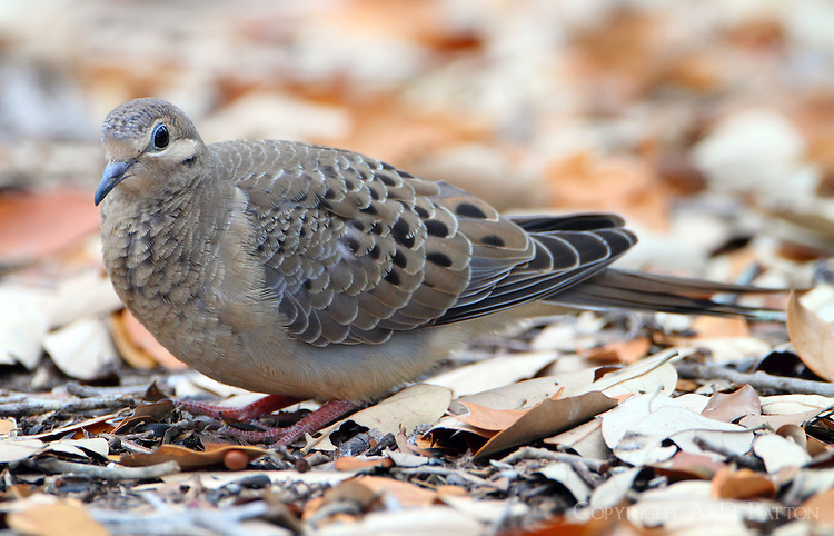 Juvenile mourning dove with unusual head pattern