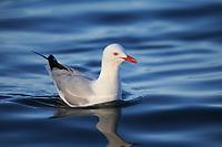 Silver Gull (Chroicocephalus novaehollandiae novaehollandiae), adult in breeding plumage swimming in the ocean off Kangaroo Island, South Australia, Australia.