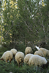 Israel, sheep grazing in Koach forest