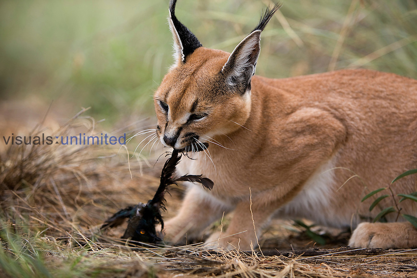 Cats Eating Native Animals