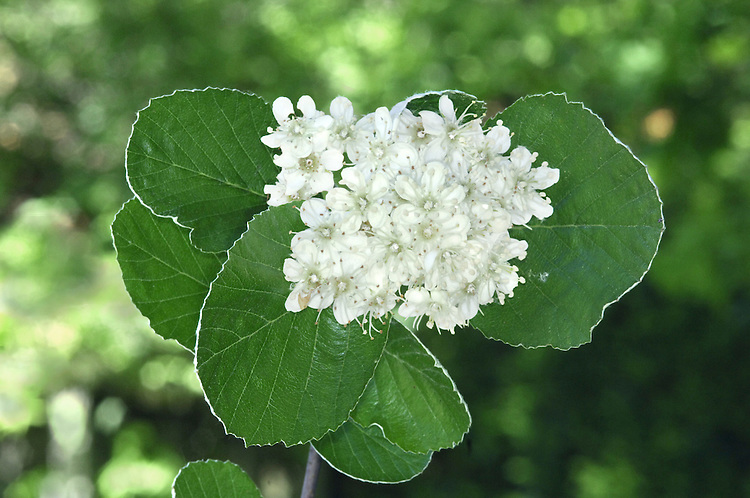 Common Whitebeam - Sorbus aria Rosaceae Height to 25m <br /> Deciduous tree or spreading shrub. Bark Smooth and grey. Branches Spreading; twigs brown above, green below. Buds ovoid, green, tipped with hairs. Leaves Oval, to 12cm long, toothed, very hairy below. Reproductive parts Flowers white, clustered. Fruits ovoid, to 1.5cm long, red. Status Native in S mainly on chalky soils; also widely planted in towns.
