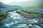 June 2016 - Siglufjordur, North Iceland -  Fields of lupine wildflowers flourish near Siglufjordur, North Iceland.