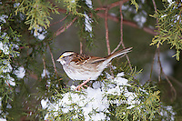 01598-00808 White-throated Sparrow (Zonotrichia albicollis) in Juniper tree (Juniperus keteleeri) in winter Marion Co. IL