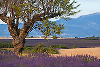 Tree in a lavender field at sunset, Valensole, Provence, France.