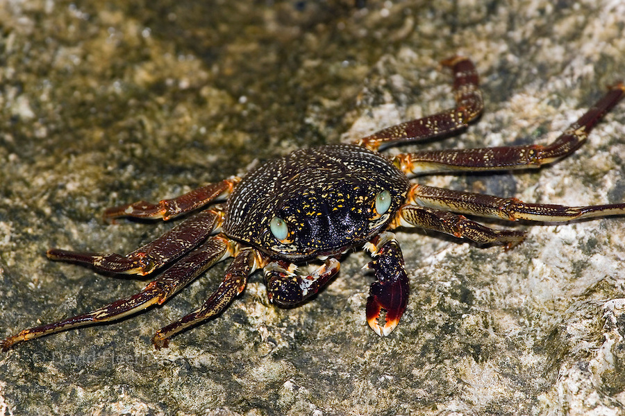 Thin shelled rock or grapsid crabs, Grapsus tenuicrustatus, live on rocky shores and in the nearby shallow water.  Fiji.