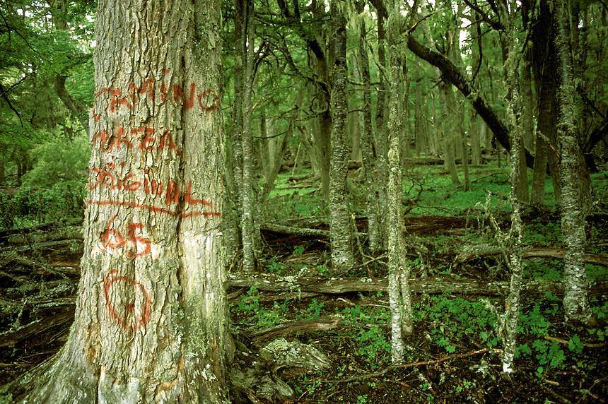 A tree marked for section borders and road building stands on the edge of healthy beech forest on Trillium/Savia land in Tierra del Fuego. Many of the archipelago's outwardly-healthy trees hide rotten cores that make them unusable as timber. &quot;You're not going to be able to tell whether there's any use to the timber or not until after you felled them, because so many of them are going to be rotten inside,&quot; notes biologist Matt Robson. Environmentalists hope ecotourism and potential sales of carbon credits could bring the region more benefit than cutting ancient trees Charles Darwin may have passed in the 1830s.<br /><br />&quot;So thick was the wood that it is necessary to have constant recourse to a compass; for every landmark, though in a mountainous country, was completely shut out,&quot; Darwin wrote in his journal. &quot;In the valleys it was scarcely possible to crawl along, they were so completely barricaded by the great mouldering trunks, which had fallen down in every direction,&quot; he added. &quot;When passing over these natural bridges, one's course was often arrested by sinking knee deep into the rotten wood; at other times, when attempting to lean against a firm tree, one was startled by finding a mass of decayed matter ready to fall at the slightest touch.&quot;