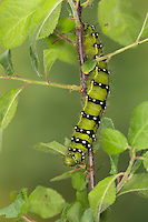Kleines Nachtpfauenauge, Raupe frisst an Schlehe, Saturnia pavonia, Eudia pavonia, Pavonia pavonia, Small Emperor Moth, caterpillar, Le Petit paon de nuit, Saturniidae, Pfauenspinner