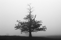 Tree in Fog, Shenandoah NP, VA 35mm image on Ilford Delta 100