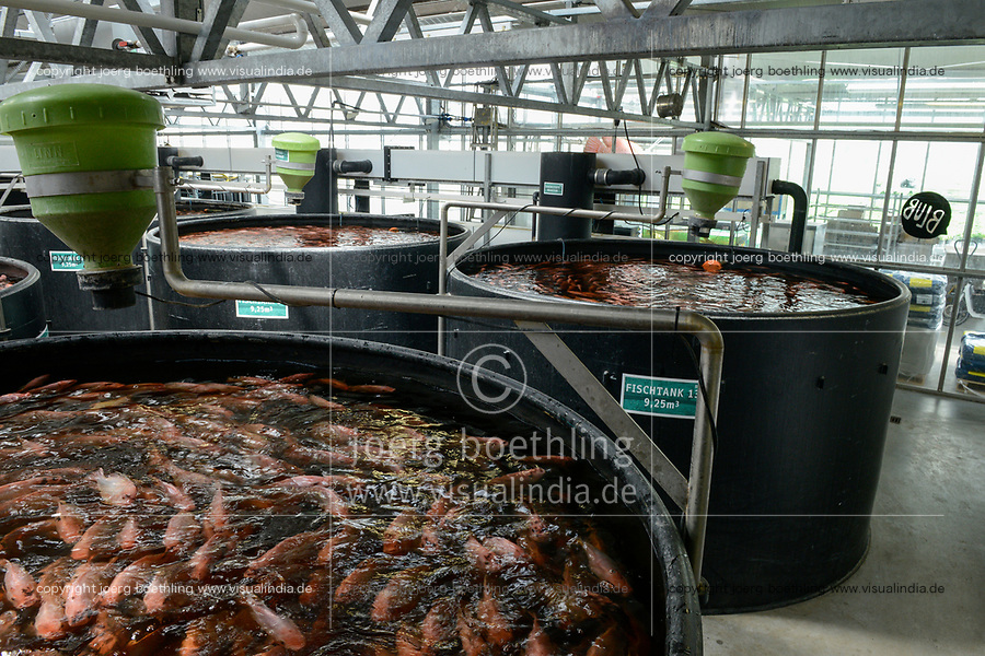 GERMANY, Berlin, Tilapia fish farm of start up ECF, the fish farm is combined with green houses to cultivate vegetables irrigated with sewage water from the fish ponds , the system is called aquaponic, the fish is distributed in Berlin to avoid long transport ways / DEUTSCHLAND, Berlin, Tilapia Fischfarm des start-up Unternehmens ECF auf dem gelaende der ehemaligen Schultheiss Malzfabrik, mit dem naehrstoffhaltigem Abwasser der Fischtanks wird Basilikum im Gewaechshaus bewaessert, Aquaponic System, als Hauptstadt Barsch werden Fisch und Basilikum in Berlin ueber Rewe und Metro lokal vermarket