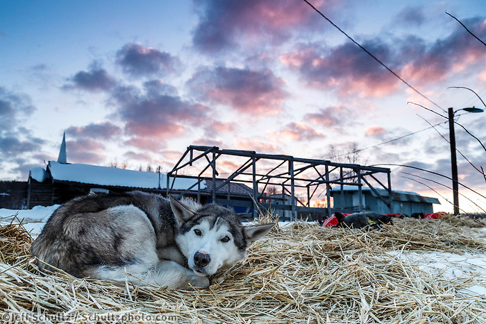 A Pete Kaiser dog who was dropped at Ruby rests on straw as dawn breaks over the Ruby Checkpoint on Saturday March 12th during the 2016 Iditarod.  Alaska    <br /> <br /> Photo by Jeff Schultz (C) 2016  ALL RIGHTS RESERVED