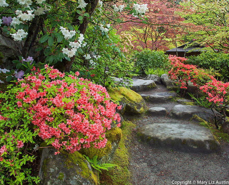Seattle, WA: Azaleas and rhododendrons blooming alongside a pathway in the Seattle Japanese Garden in the Washington Park Arboretum in spring