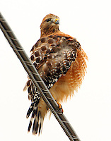 Adult red-shouldered hawk preening