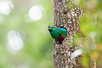 resplendent quetzal, Pharomachrus mocinno, male looking out of nest hole, Costa Rica, Central America