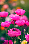 Vibrant pink ranunculus flowers against green background