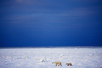 Polar bears (Ursus maritimus)--sow with cub walking across Hudson Bay winter landscape.