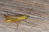 Große Goldschrecke, Männchen, Chrysochraon dispar, large gold grasshopper