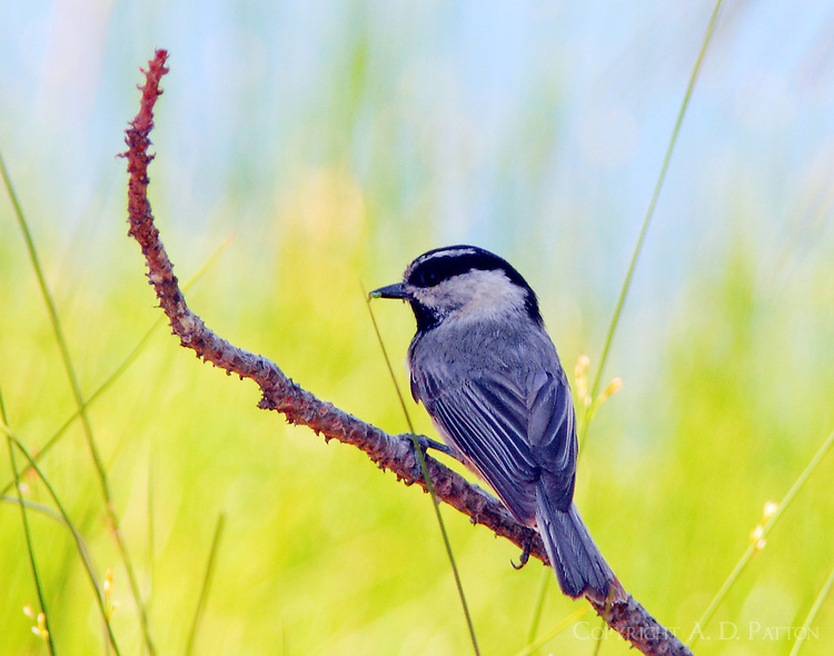 Mountain chickadee with worm