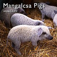 Mangalitsa Pigs | Mangalitza Pictures, Photos & Images