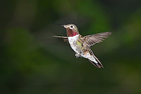 Broad-tailed Hummingbird in flight