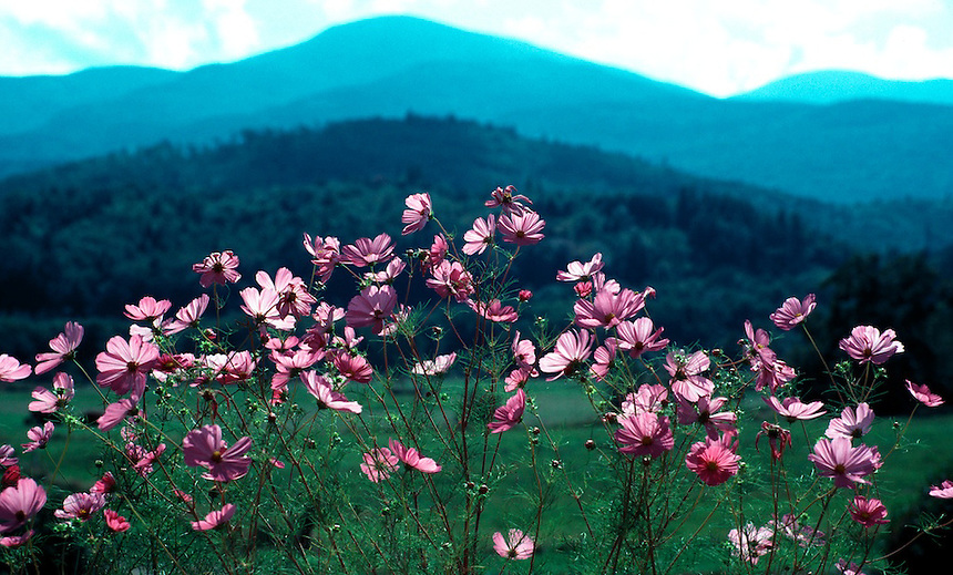 Flowers frame a mountain vista at Shelburne, New Hampshire. Photograph by Peter E. Randall.