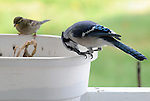 Blue Jays Visit my Porch