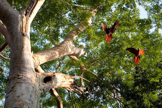 Guatemala, Mayan Biosphere, Peten, Scarlet Macaws, WCS, Scarlet Macaws fly out of their nest in a ceiba tree