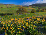 Columbia Hills State Park, WA: Columbia Gorge National Scenic Area, Folds of the Columbia Hills with Garry oaks (Quercus garryana), balsamroot and lupine.
