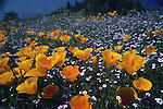 California Poppies growing in spring in St. Helena