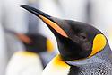 King Penguin (Mirounga leonina) Salisbury Plane, South Georgia. November.