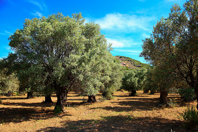 Olive trees of Naxos, Cyclades Islands, Greece