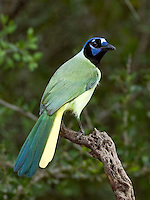 Green Jay, South Texas