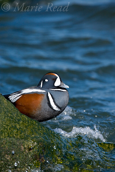 Harlequin Duck (Histrionicus histrionicus) male in breeding plumage, Barnegat Inlet, New Jersey, USA