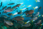 Schooling yellowmask surgeonfish ( Acanthurus mata ) and blue and yellow fusilier ( Caesio teres ) at the upstream side of Mike's Point, Raja Ampat, Indonesia