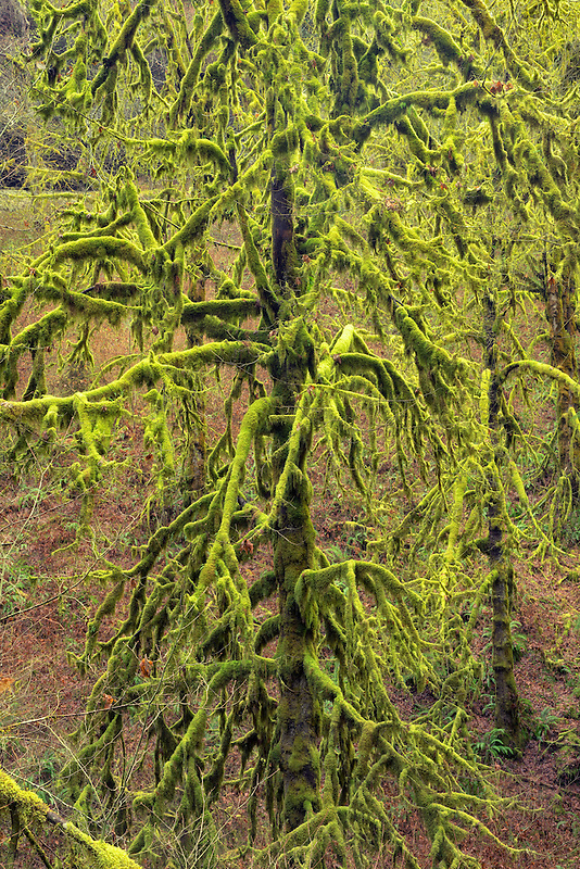 Moss covered Maple trees. Silver Falls State Park, Oregon.
