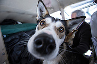 "DeeDee Jonrowe 's dog ""Willow"" , dropped in Iditarod, waits in pilot Greg Miller 's plane for a ride back to McGrath on  on Thursday March 7, 2013...Iditarod Sled Dog Race 2013..Photo by Jeff Schultz copyright 2013 DO NOT REPRODUCE WITHOUT PERMISSION"