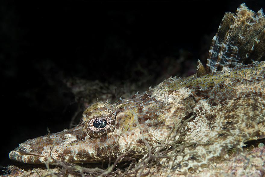 Marovo Lagoon, Solomon Islands; a crocodile flathead fish laying on the sandy bottom alongside the coral reef