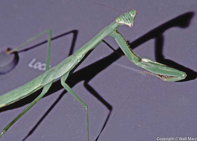Spotted the Mantis walking over the office fax machine.  The windows were opened on a mild autumn morning.
