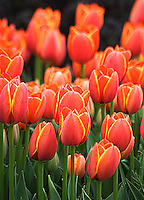 Orange tulips and dark kale make for a dramatic paring in this March composition at the Dallas Arboretum.