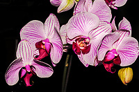 A cluster of Phalaenopsis Orchid flowers, commonly know as Moth Orchids