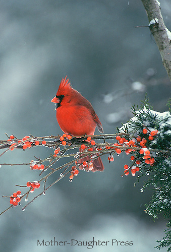 Male cardinal on branch with red berries in falling snow, MO USA