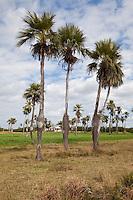 Cuba, Pinar del Rio Region, Viñales (Vinales) Area.  Cuban Bottle Palms.