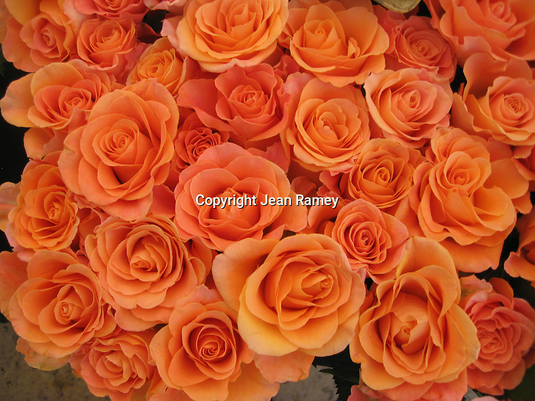 French roses