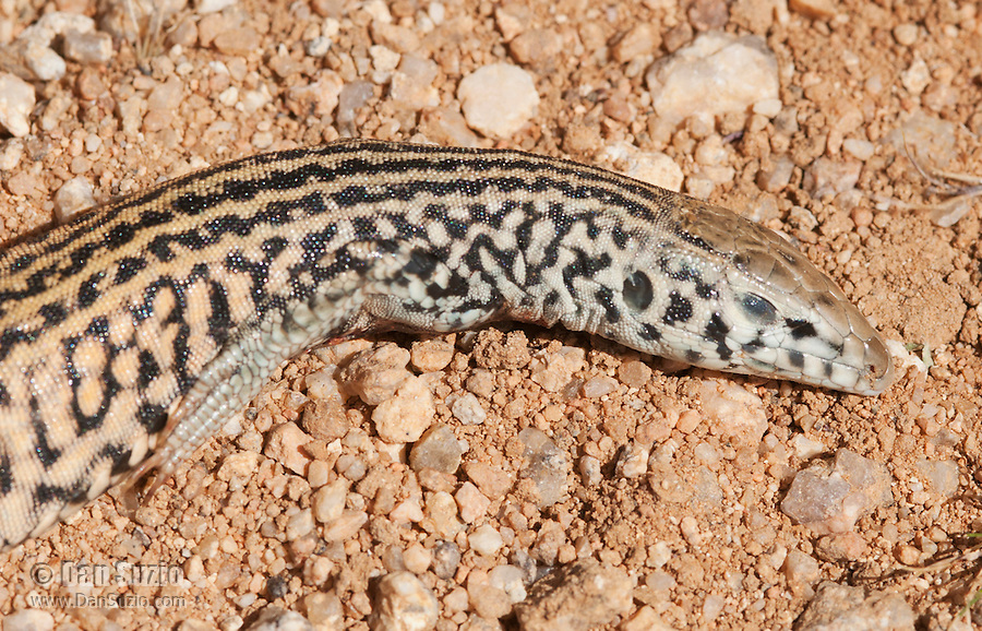 This Great Basin whiptail, Cnemidophorus tigris tigris, was killed and partially swallowed by a juvenile California king snake, Lampropeltis getula californiae. The lizard was too big to swallow and the snake eventually abandoned it. Desert Tortoise Natural Area, Mojave Desert, California.