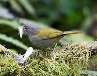 Dusky bush-tanager