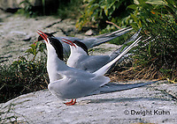MC81-015z  Arctic Tern - greeting posture sequence 81-14, 81-15, male and female head down and up - Machias Seal Island, Bay of Fundy - Sterna paradisaea
